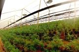Cultivo de maconha na Colômbia