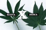 Cannabis Indica vs. Cannabis Sativa