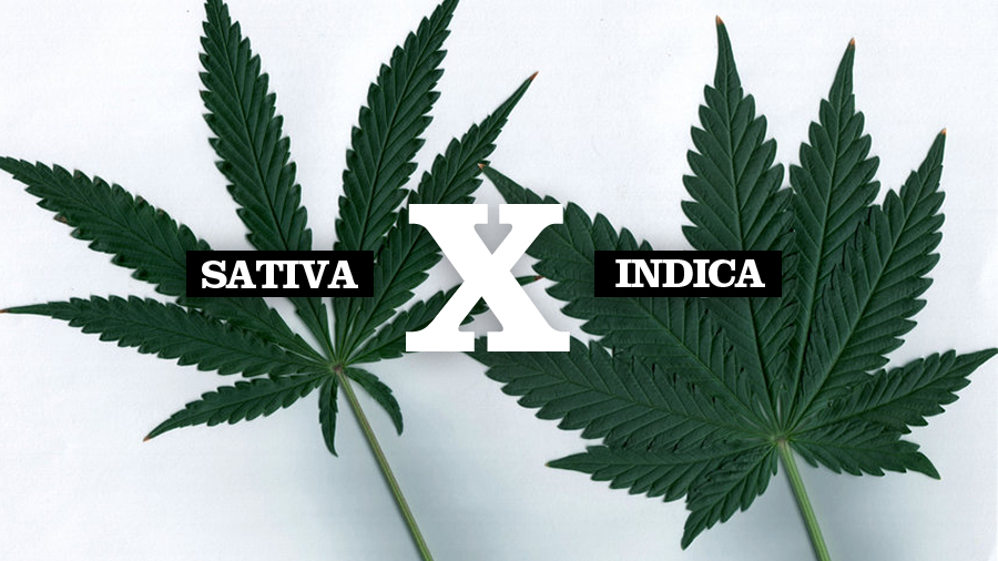 Cannabis sativa vs cannabis indica