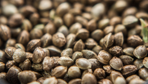 importação de sementes de maconha