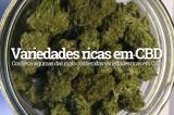 Canabidiol: conheça as espécies de maconha ricas em CBD