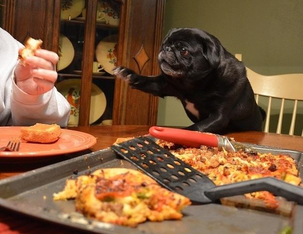pug-pizza-stoned