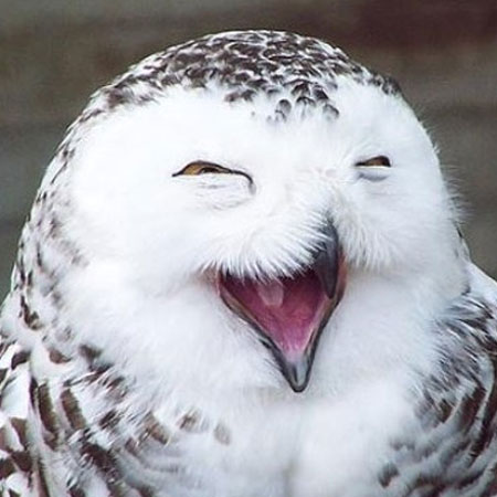 laughing-owl