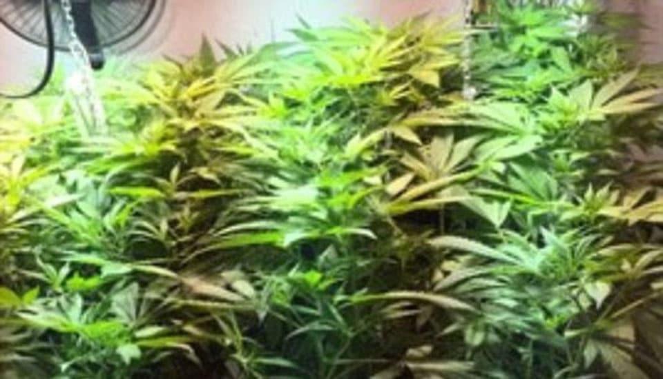 180 plantas de maconha encontradas pela polícia no celeiro de Matheson. Foto: Crossville Police Departament.