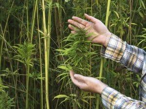 cultivo de maconha medicinal e industrial