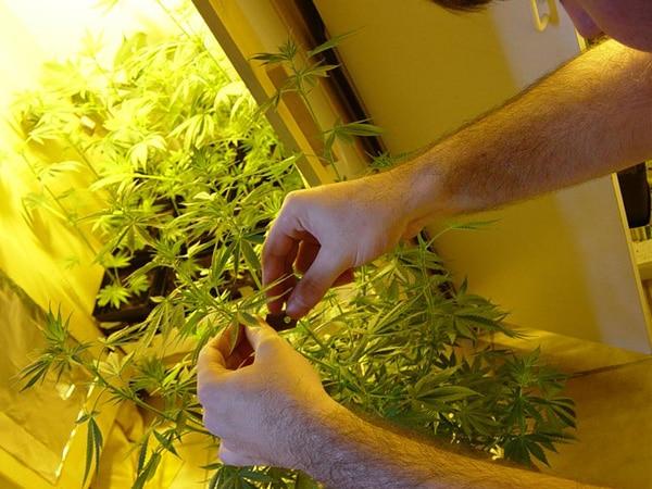 Habeas corpus para cultivo medicinal de Cannabis