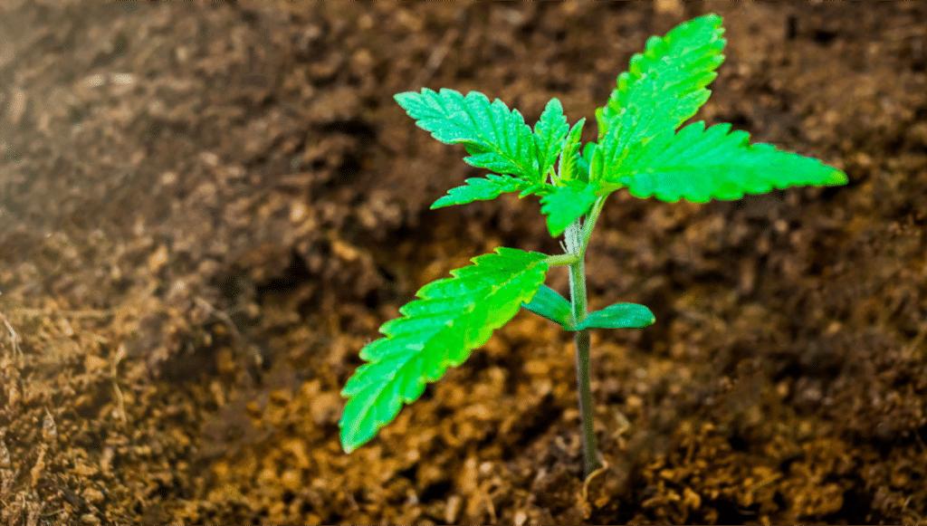 substratos cultivo Cannabis