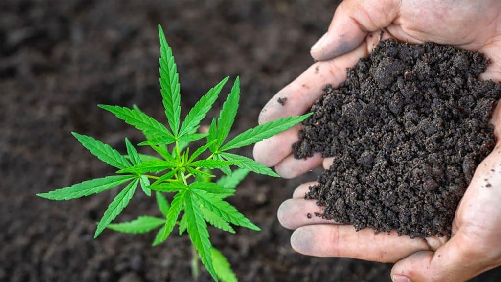 substratos solos cultivo Cannabis