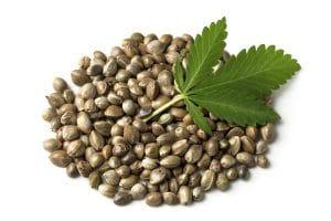 semente, sementes de canhamo, cannabis