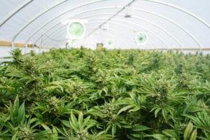 Clube de cannabis
