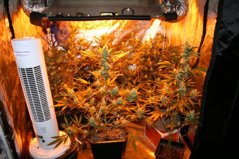 Como plantar maconha em casa indoor ou outdoor