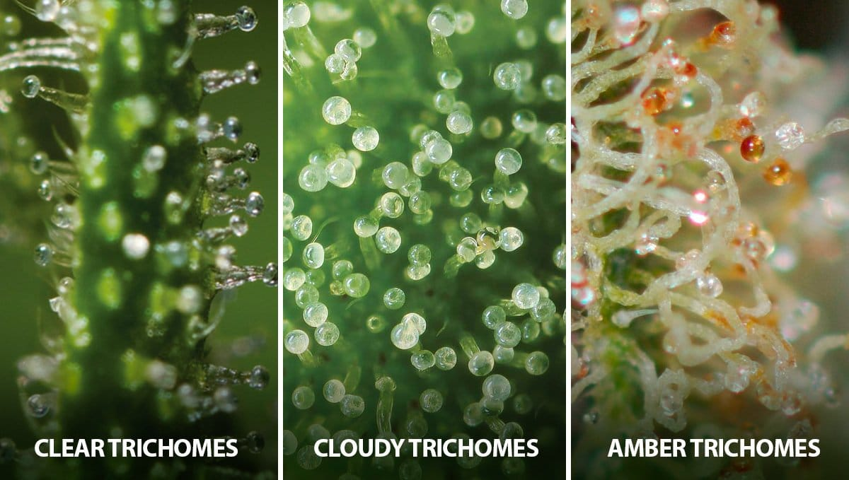 Tricomas são fundamentais para saber a hora da colheita da maconha, os tricomas indicam a hora certa de colher a maconha