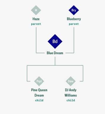 Blue Dream strain maconha