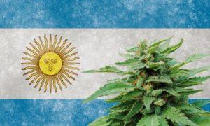 cultivo caseiro Cannabis Argentina
