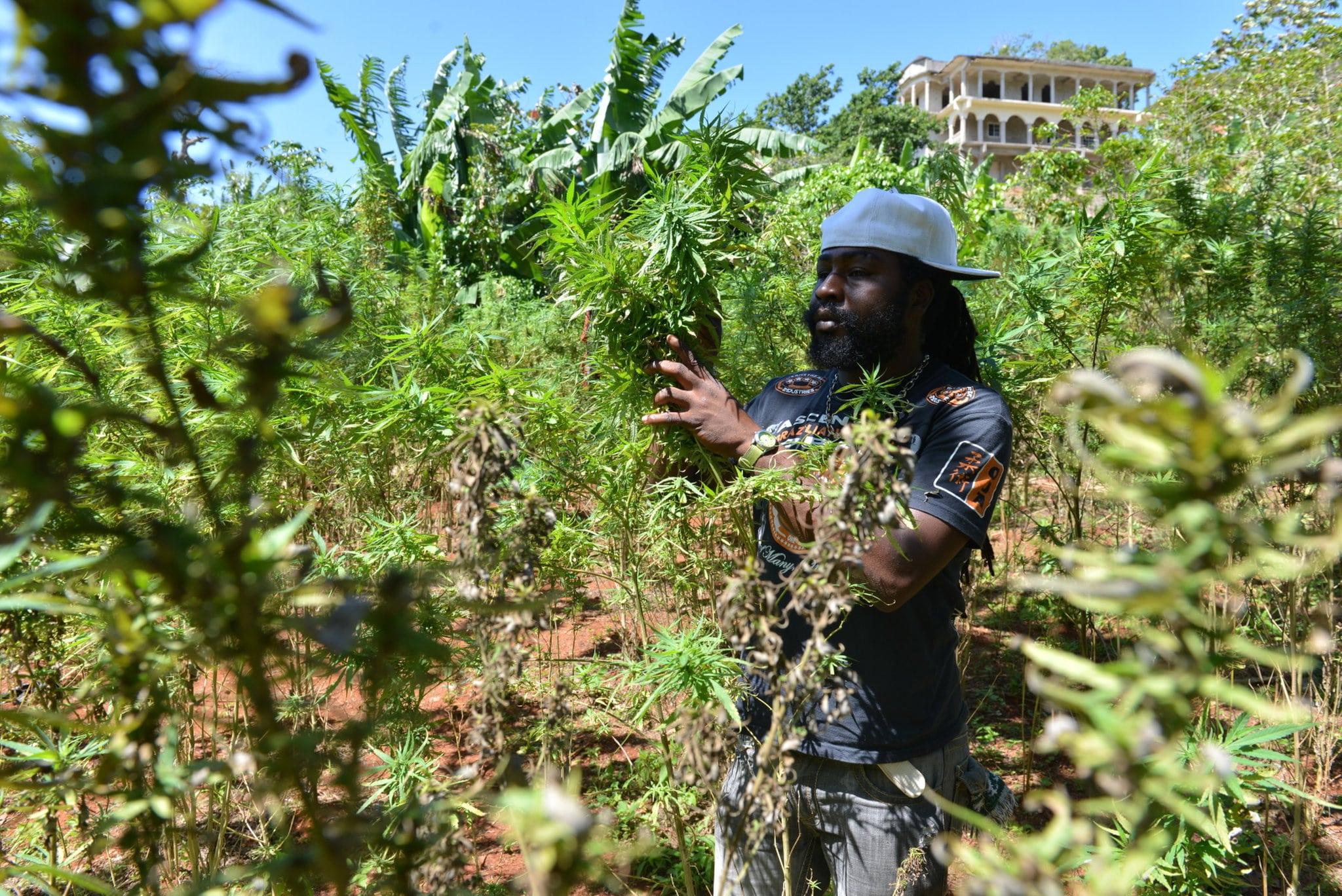 Jamaica quer participação de pequenos cultivadores de maconha no mercado legal