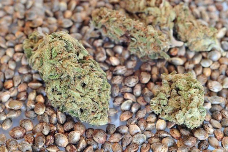 importar poucas sementes de maconha - CBD Testers (1)