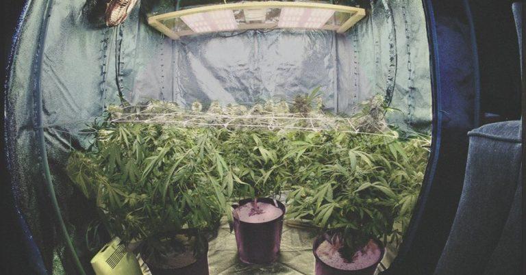 plantas de maconha em um cultivo indoor