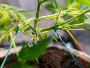 LST treinamento de baixo estresse no cultivo de maconha