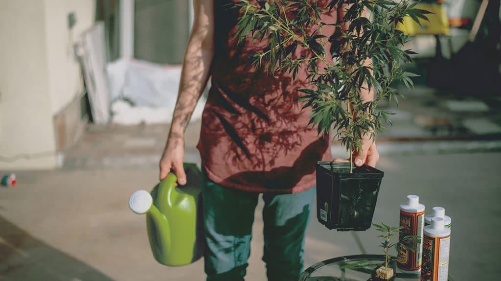 fertilizantes cultivo Cannabis
