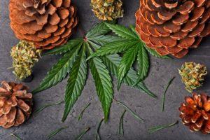 careno terpeno maconha ossos Cannabis Wiki