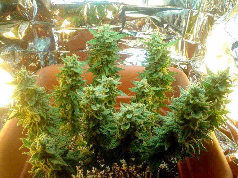 como plantar maconah em espacos pequenos Sunwest Genetics
