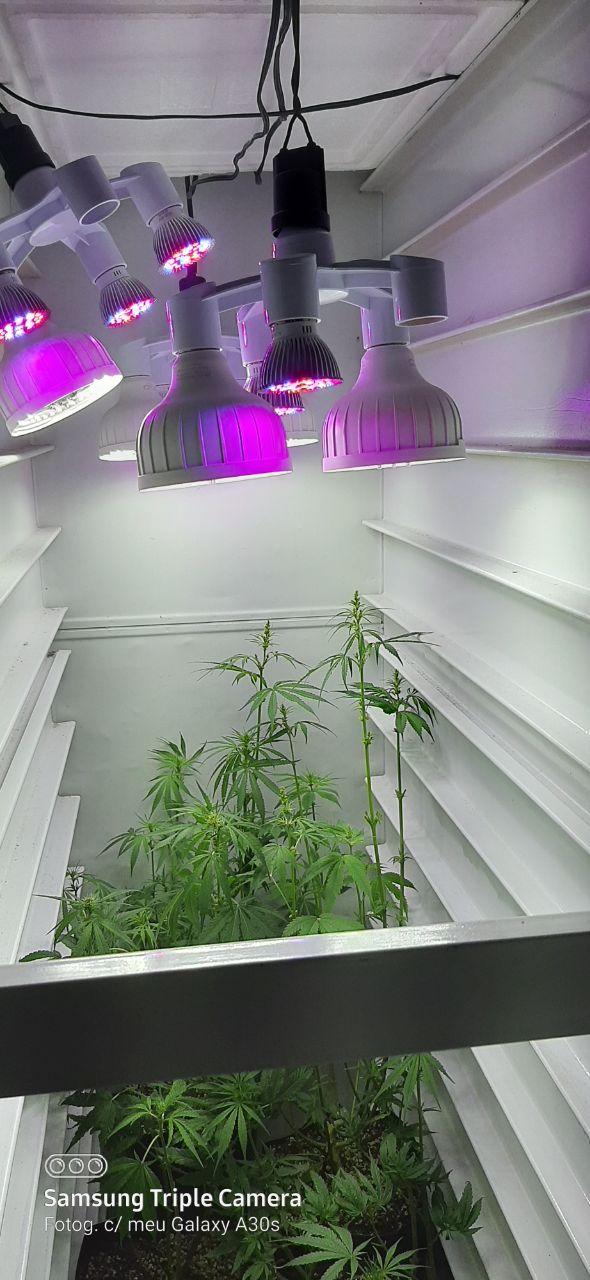 cultivo de maconha em espaço pequeno