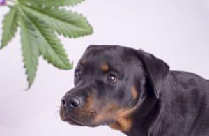 cachorro comeu maconha Petfood industry