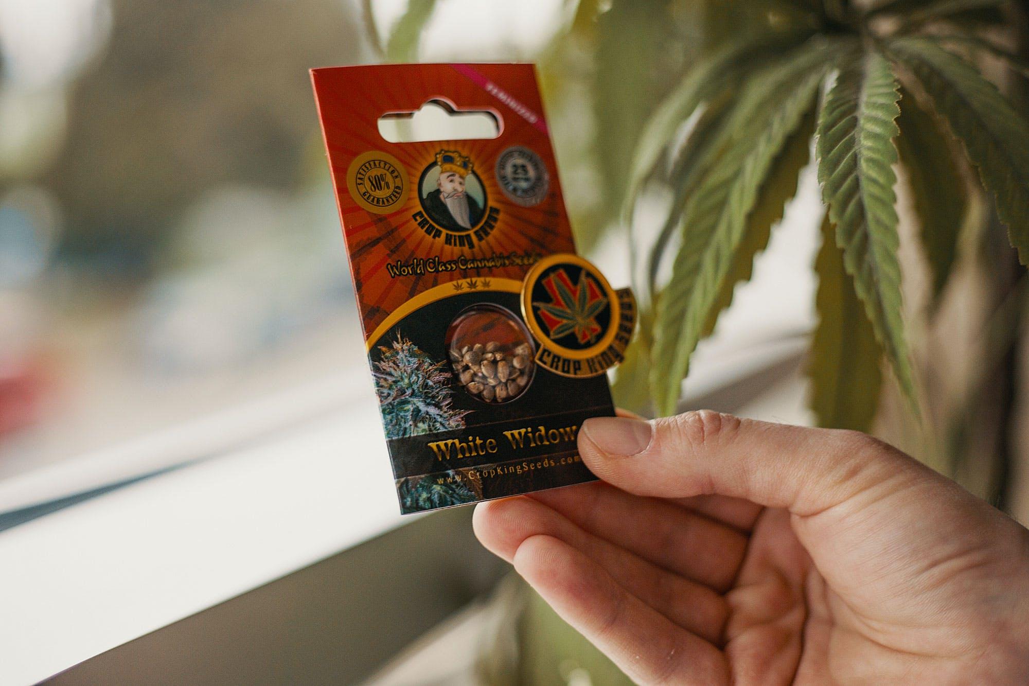 comprando sementes de Cannabis Herb