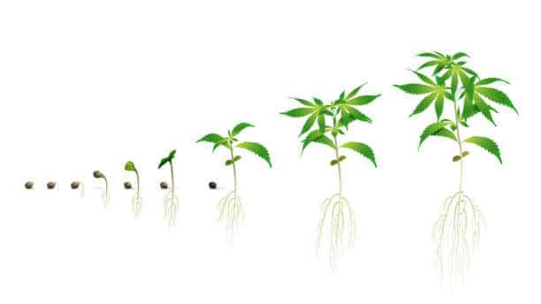Ciclo de vida da maconha vegetativo
