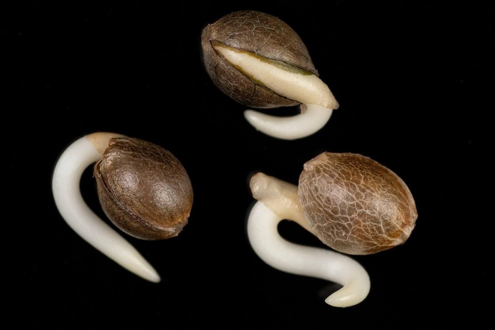 Sementes de maconha germinando Dinafem 1