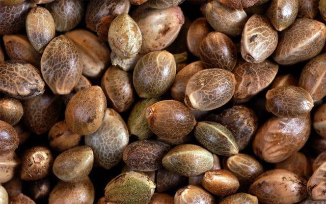 sementes de maconha The Marijuana Times